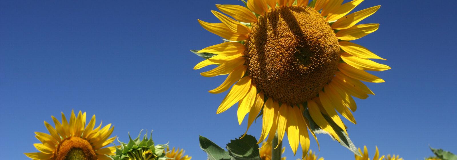 sunflowers-3-1393020-1920x1280